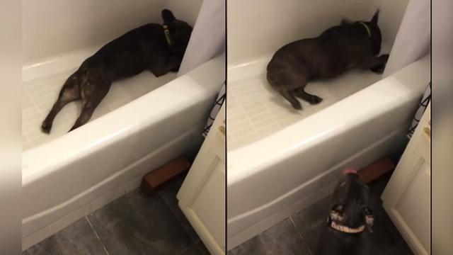 French Bulldog Uses Bathtub To Hide From Annoying Puppy
