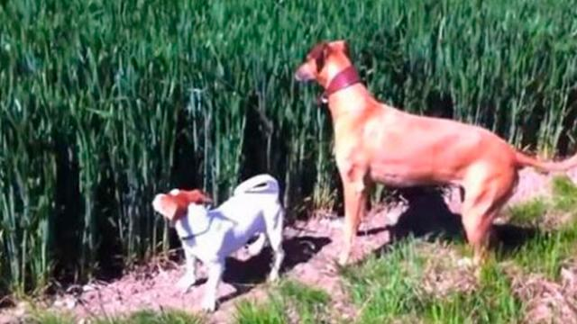 Dog Hears Farmers Whistle Coming From Field With Laugh-Out-Loud Scene Quickly Unfolding