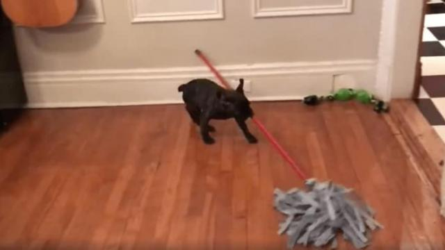 Newsflare - French bulldog puppy helps mopping the floor