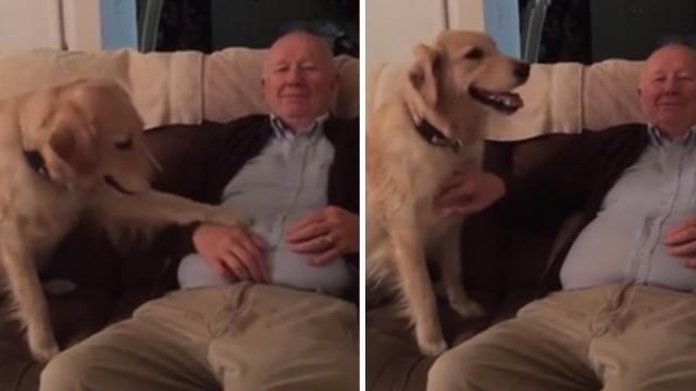 Golden Retriever Demands Belly Rubs From Lazy Senior Man