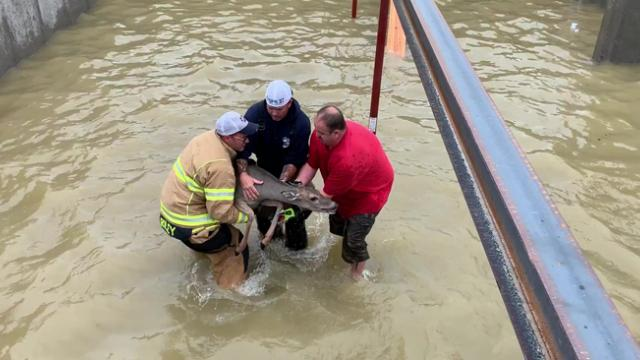 Deer fished out of flooded construction site basement