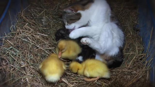 Heartwarming moment cat feeds and raises orphaned ducklings like her own kittens