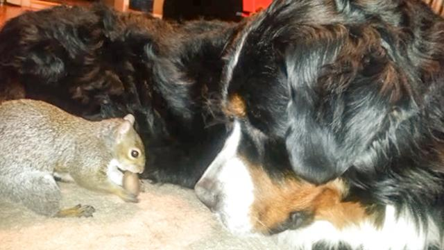 Squirrel hides nuts in a Bernese Mountain dog's fur