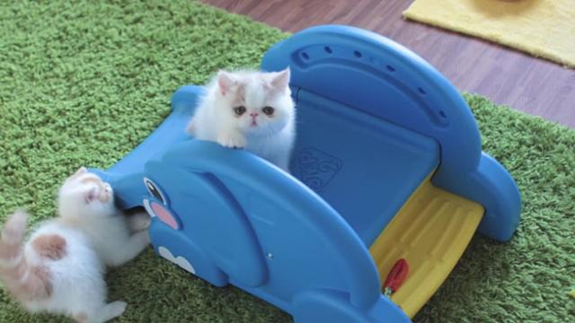 Tiny Exotic Shorthair Kittens Discover the Wonder of a Children's Blue Elephant Slide Together