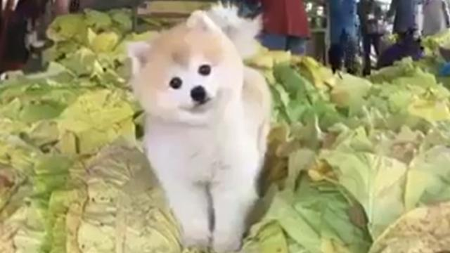 This Pomeranian lost his way and found himself in a heap of cabbage!
