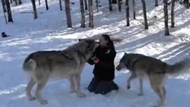Wolf Approaches Woman In The Woods And Sits Down But Watch His