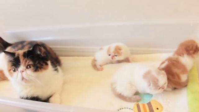 2 Week Old Kittens Talking To Their Mom