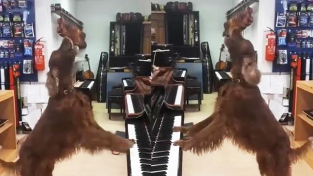 Red Setter Sings the Blues During Paw-Fect Piano Performance