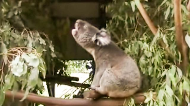 BBC News   Koalas bellow with unique voice organ