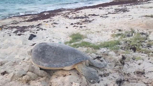 Man helps sea turtle swim off into the sunrise