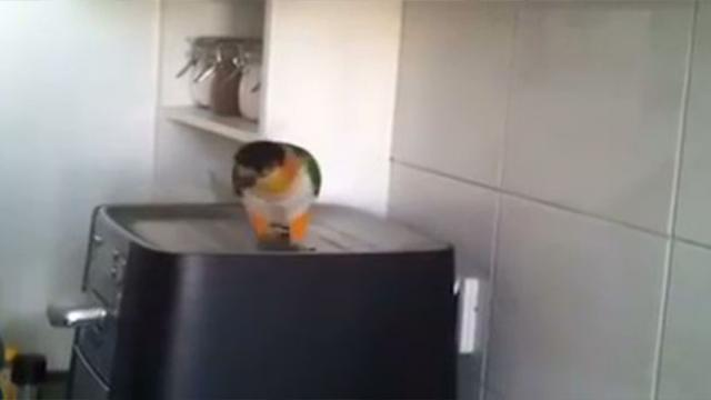 A Beautiful Bird Heard The Start Of His Favorite Song, Then He Starts Dancing.