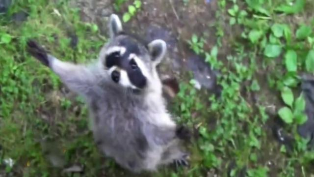 Funny Raccoon – A Little Something To Brighten Your Day