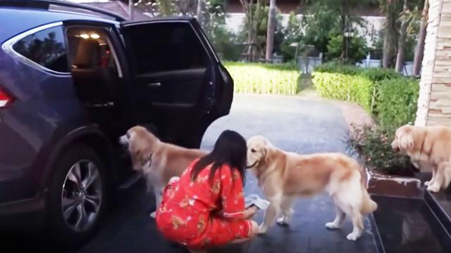 Os Golden Retrievers esperam na fila antes de entrarem no carro