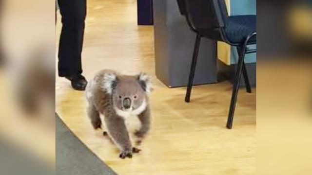 Koala Walks into Chemist