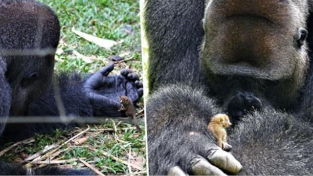 Huge Gorilla Makes Cutest New Bushbaby Friend