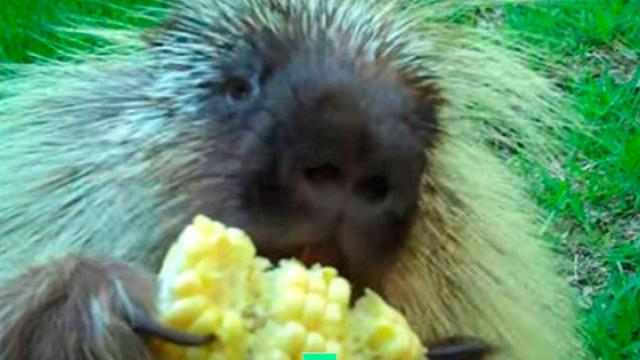 Porcupine Is Offered Some Corn, Has Hilarious Response When Mom Takes It