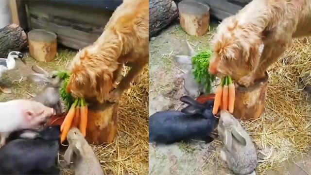 Adorable moment Kalle the dog helps owner feeds rabbits with carrots