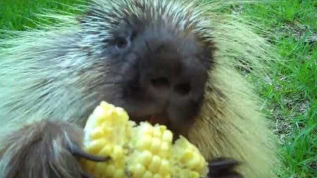 Teddy Bear, the porcupine, doesnt like to share