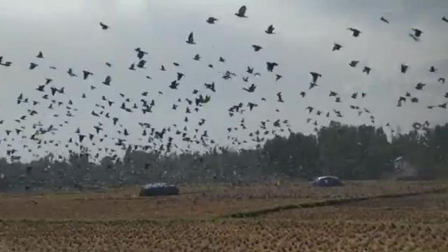 Terrifying footage of thousands of birds flocking looks like real life Hitchcocks The Birds
