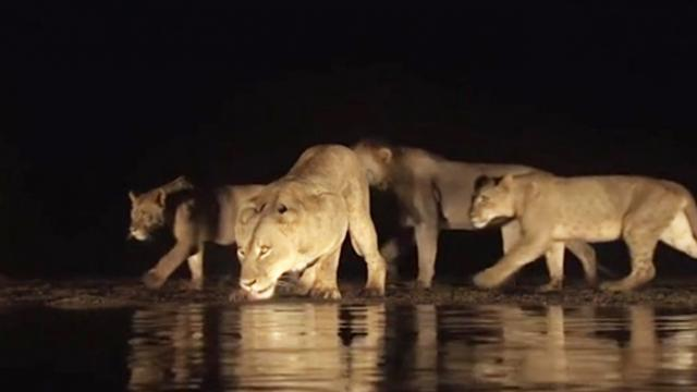Lioness Leads Her Cubs Down to Waterhole at Night in Rare Footage