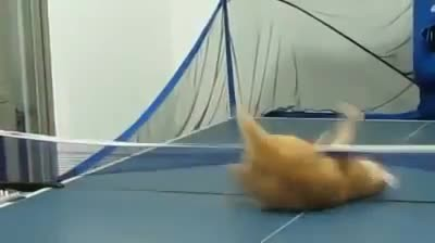 Cat shows off its mad table tennis skills