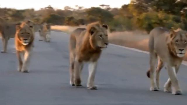 Brit tourist has incredible close encounter with pride of lionesses