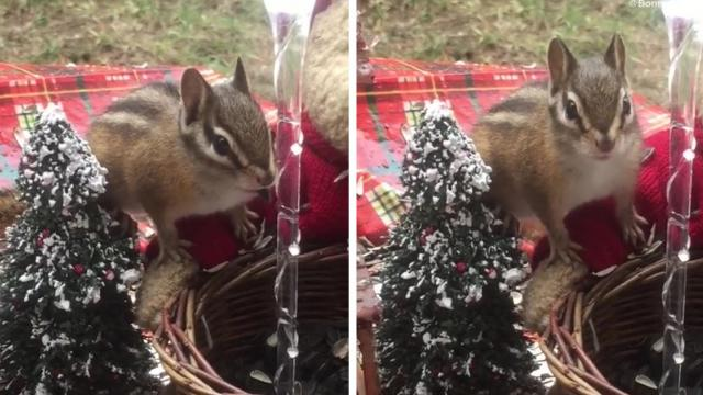 Wild chipmunk engages in funny conversation with human