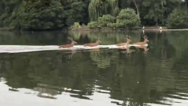 Deer swim across lake in perfect harmony
