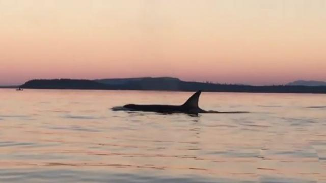 Orca breaches in face of kayaker, who captures it on video_Large