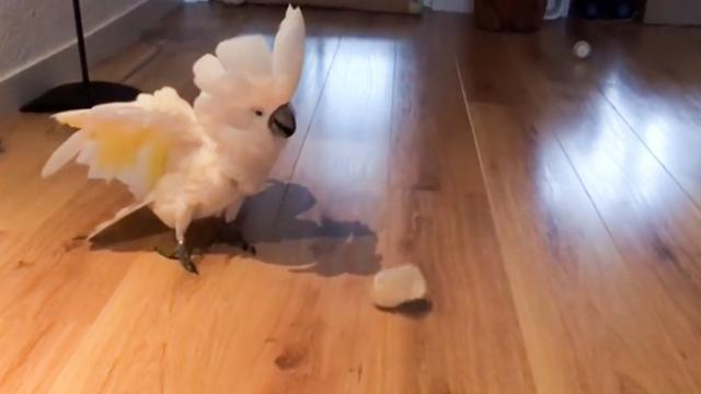 This Cockatoo Is Crazy for Chasing Cups