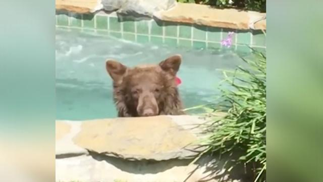 Bear Sneaks Into Couples Backyard Jacuzzi & Drinks Margarita In Funny Home Video.