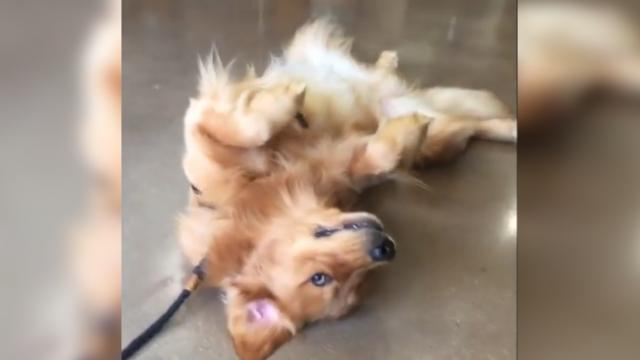 Golden Retriever Refuses to Leave Pet Store in Hilarious