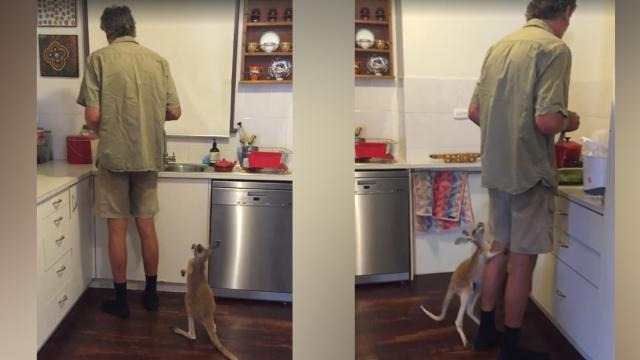 Hop to It! Adorable Baby Kangaroo Demands Its Milk NOW (WATCH)_Large