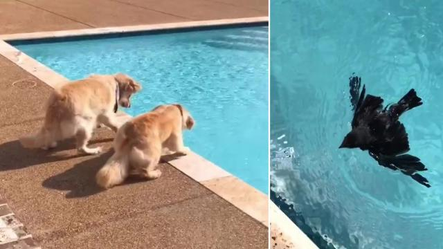 Golden Retrievers salvan a un ave bebé que estaba ahogándose