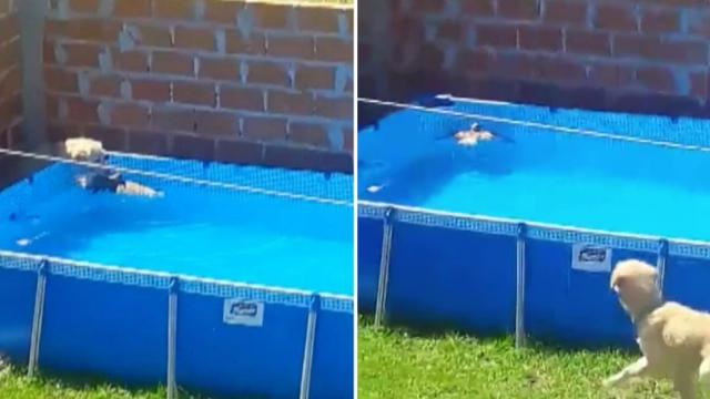Un heroico Golden Retriever salva al ave de ahogarse en la piscina