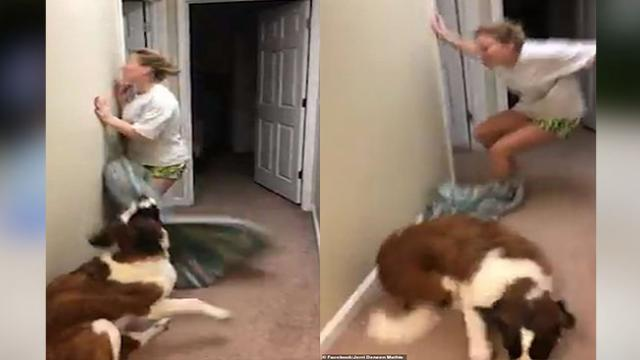 She FLUFFED it! Hilarious moment woman runs straight into a wall while trying to baffle her dog with