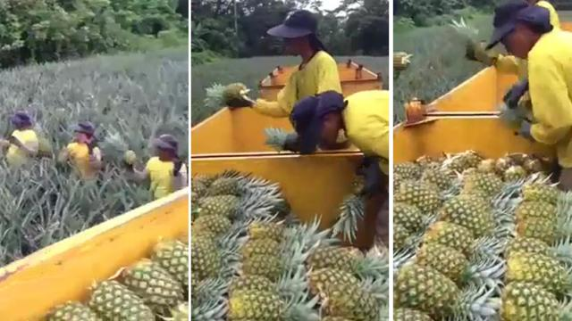 Workers in a pineapple plantation display a unique way of harvesting
