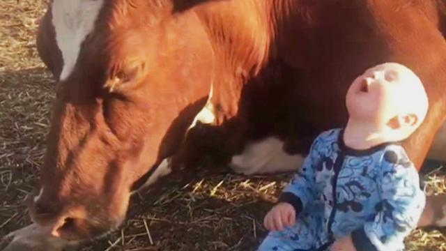 Udderly adorable! Farmer mum lets tiny baby become unlikely best friends with 500kg cow