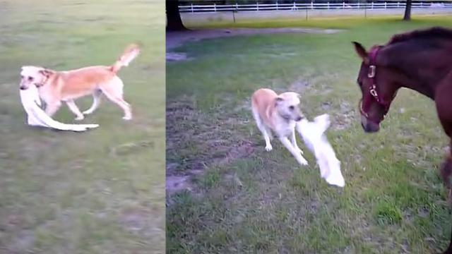 Playful Dog Ran Up To A Horse With A Towel