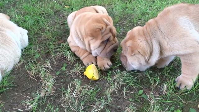 Shar Pei Puppies Hate Lemon