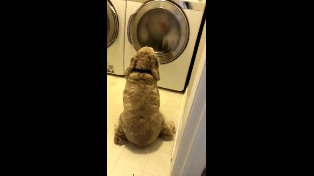 Loyal Dog Watches Over His Favorite Teddy Bear During The Entire Time It's In The Wash