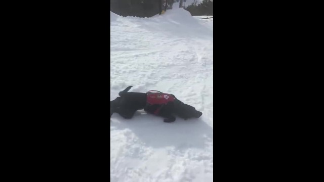Avalanche Rescue Dog Slides Down Snowy Mountain for Fun