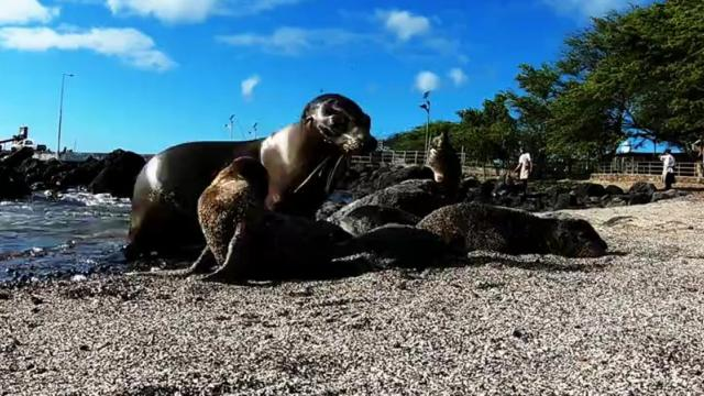Adorable baby sea lions play with camera at the beach