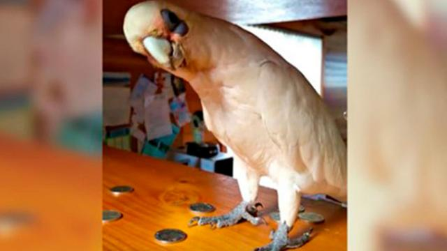 Cockatoo Wants To Go Outside But Mom Says No, Throws Epic Temper Tantrum