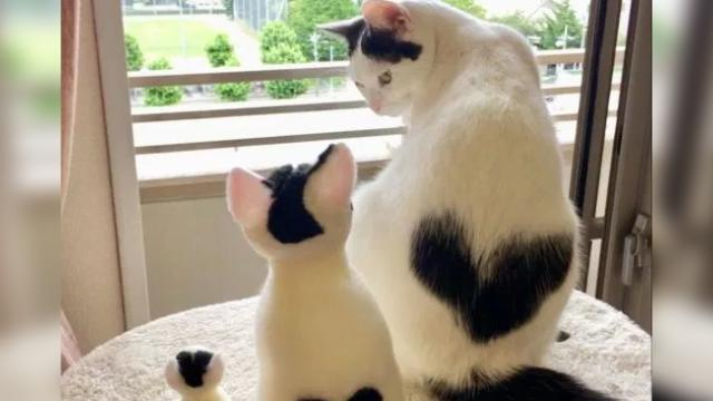 Cat with heart-shaped marking is meltinghearts