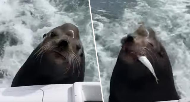 Hungry Sea Lion Catches Ride On Boat For Snacks