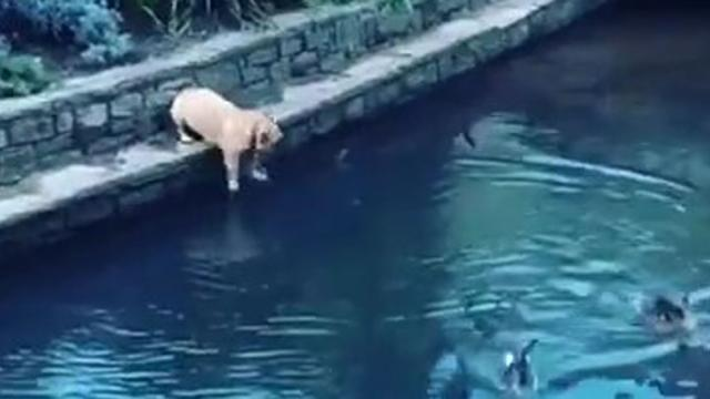 French Bulldog immediately regrets jumping into pond to chase ducks_Medium