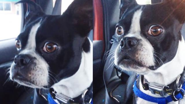 Adorable Boston terrier makes the cutest dolphin and goat sounds