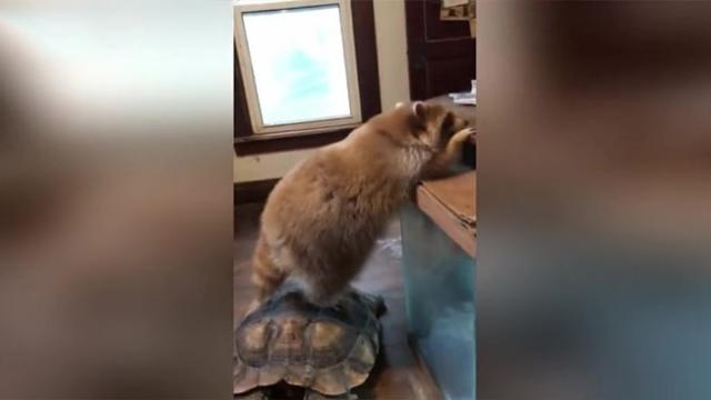 Mischievous raccoon uses tortoise as stool