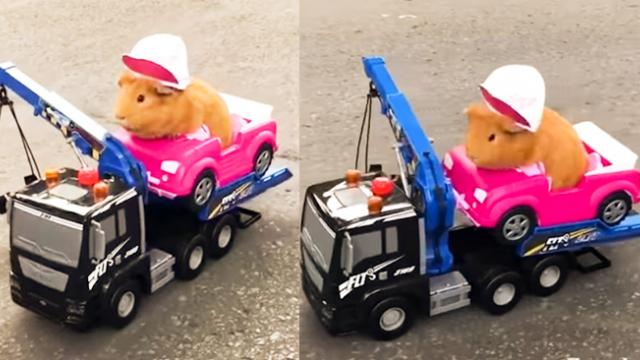 Guinea Pig Cruises Around the Block in Style